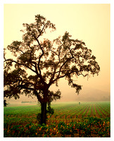 Oak Tree, Napa Valley